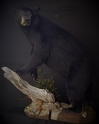 Black Bear - Full Body