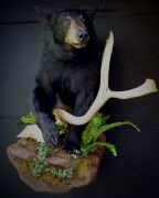 Black Bear - Half Mount