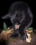 Feeding - Black Bear