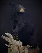 Full Body - Black Bear