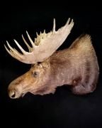 Moose Sneak Mount