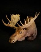 ND Moose - Bow Kill