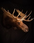 North Dakota Moose