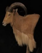 Pedestal Mount - Barbary Sheep