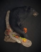 Popular Form - Black Bear