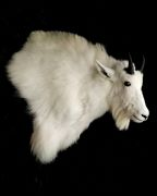 Wall Pedestal - Mountain Goat