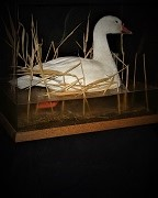 Glass Case - Adult Snow Goose