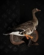 Standing Specklebelly Goose