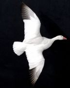 Tipping Snow Goose