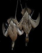 Wigeon and Pintail Deadhangs